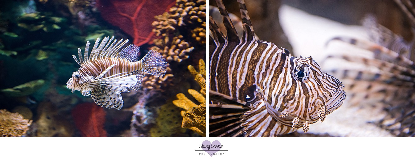 Lion fish image by Stacey Stewart Photography.jpg